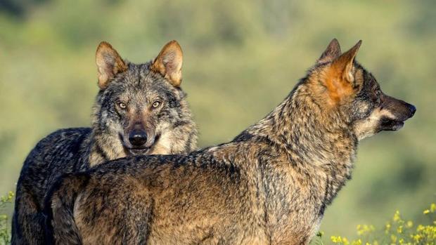 El Gobierno Vasco inicia el procedimiento para incluir al lobo en el catálogo de especies amenazadas