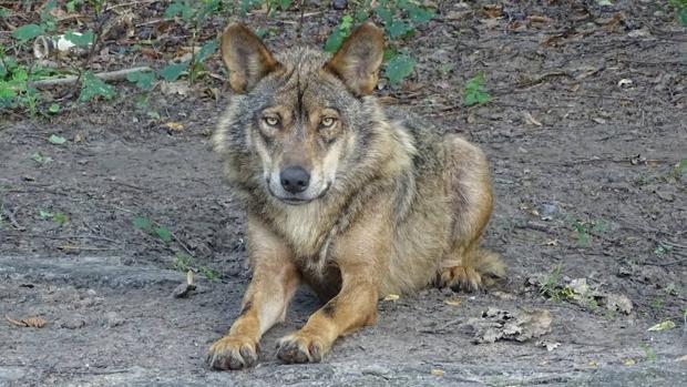 Científicos, agentes forestales y ONG lanzan el Observatorio del Lobo