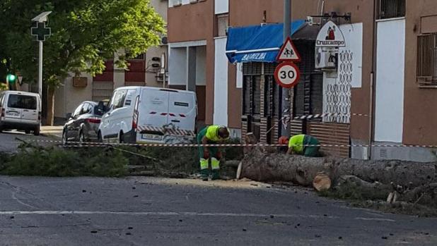 Operarios trabajan el sábado con el árbol caído en La Oliva