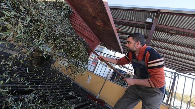 Descarga de la aceituna en la cooperativa El Agro