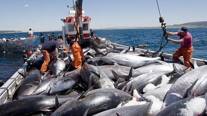 La primera 'levantá' de las almadrabas captura 22 atunes