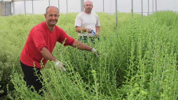 Trabajadores discapacitados de Lebrija preparan la planta de stevia