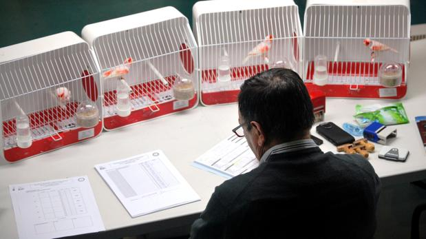 Unos jueces que deben superar un exigente examen de sus conocimientos se encargan de evaluar los pájaros