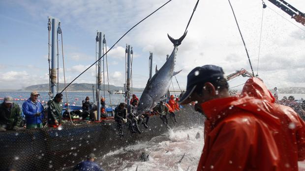 España peleará con más apoyos un aumento de la cuota de atún rojo