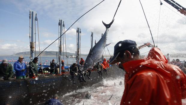 La almadraba se enfrenta con pesimismo a la asignación de la cuota de atún rojo