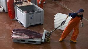 El sector lanza una serie de consejos para identificar el atún rojo salvaje de almadraba