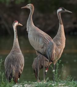 «Doñana» y otras grullas en la Cañada de los Pájaros