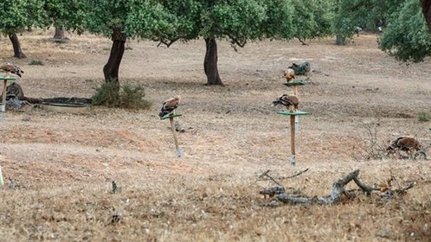 Liberados seis pollos de águila imperial en Cádiz