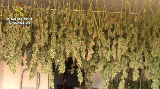 Plantación ilegal de marihuana en Libreros