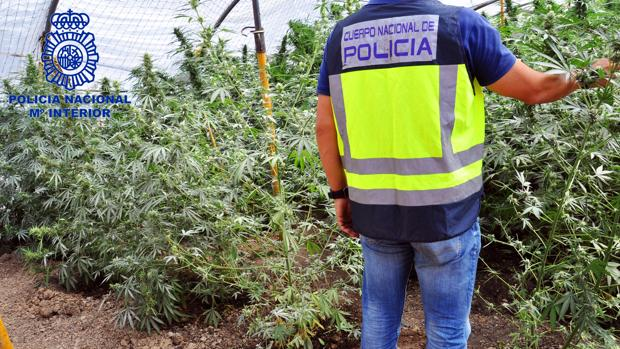 Plantación de marihuana encontrada en Morón de la Frontera