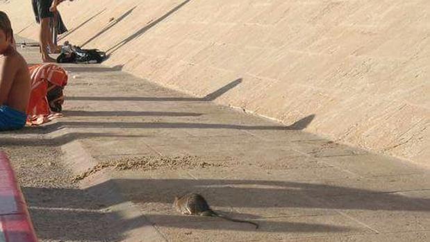 Imagen de una rata aparecida este verano en la ciudad.