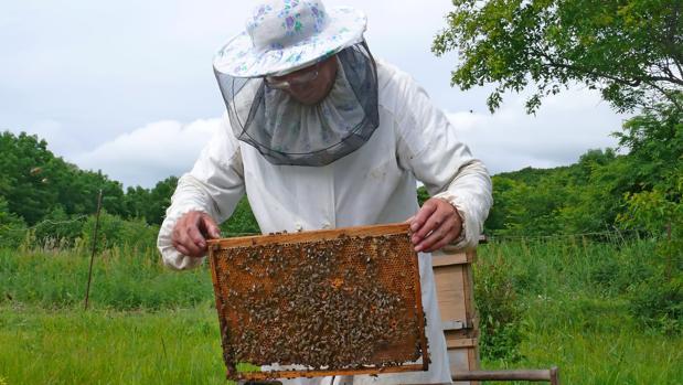 Un apicultor examina el cuadro de una colmena.