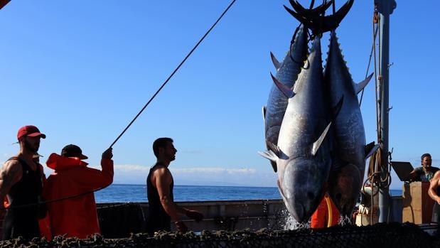 Captura de atunes en la almadraba de Zahara la pasada temporada