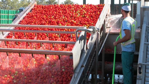 El tomate industrial se ha convertido en un cultivo clave para el desarrollo agrícola y el empleo en Lebrija