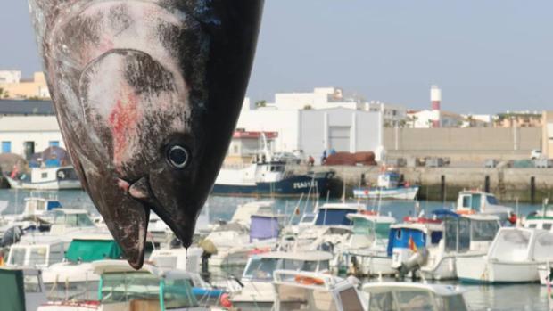 Los primeros atunes de la almadraba de Barbate ya han asomado.