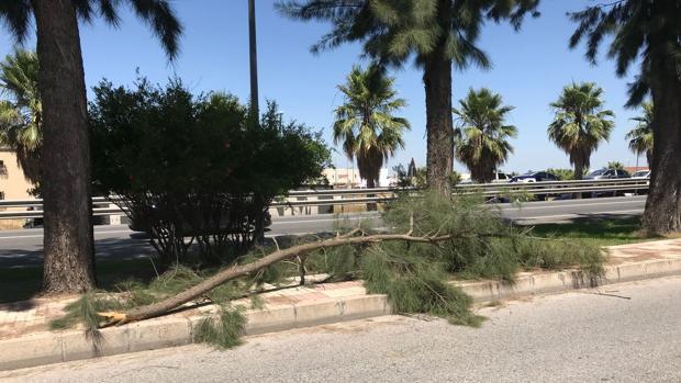 La rama caída sobre la acera del arbolado de la avenida José Antonio Gallego