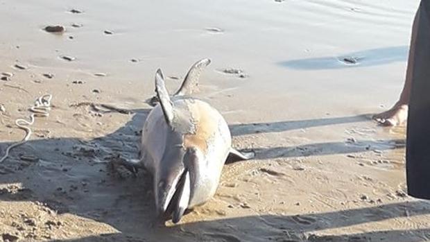 Delfín encontrado en la playa de Camposoto.