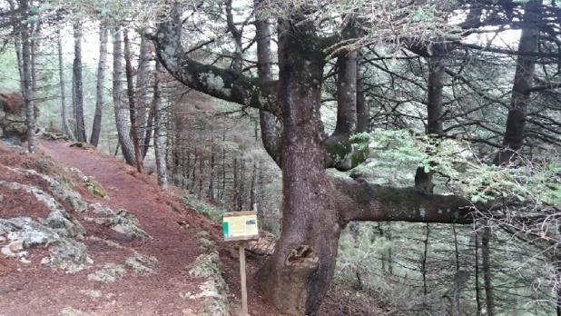 El pinsapo candelabro de Grazalema, aspirante a mejor árbol europeo del año 2019.
