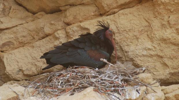 Un ibis eremita en su nido.