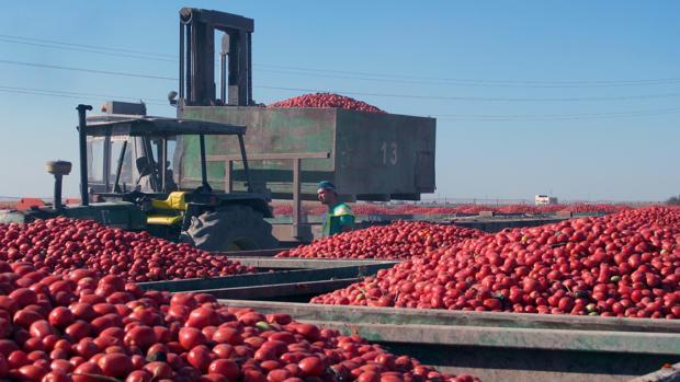 En los meses de verano, la explanada de la cooperativa Las Marismas se llena de contenedores repletos del tomate recolectado