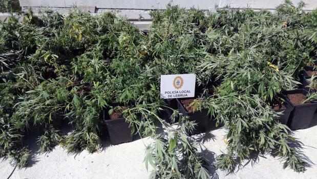 Las plantas de marihuana incautadas por la Policía Local