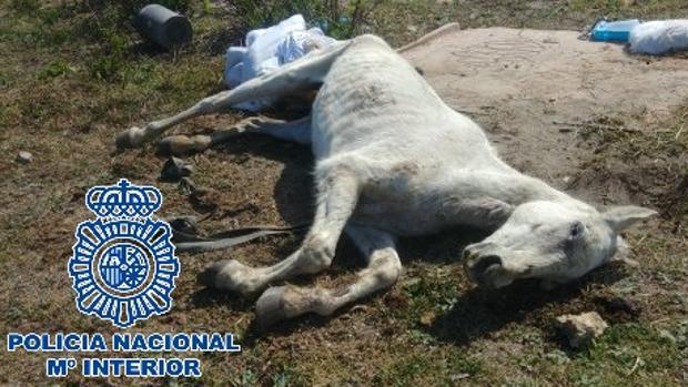 Imagen de uno de los caballos abandonados en La Línea, en Cádiz.