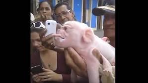 Muere el cerdo con cara de mono