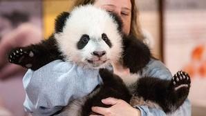 Las aventuras de Bei Bei, el adorable bebé panda que causa furor en Facebook