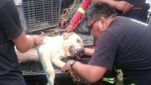 Dayko, el perro que murió de agotamiento tras rescatar a siete personas en el terremoto de Ecuador