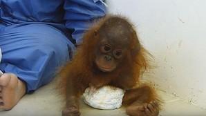 El bebé orangután que sufre un trauma por haber sido adoptado como mascota