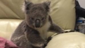 Una mujer llega a su casa y encuentra un koala sentado en su sofá