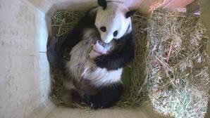 El dúo más adorable de YouTube: una osa panda da a luz a gemelos por sorpresa
