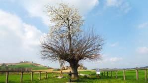 El asombroso «árbol doble» que es cerezo y morera a la vez