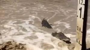 YouTube: Decenas de cocodrilos esperan para atacar a los conductores que cruzan un puente en Australia