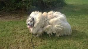Rescatan a un perro encerrado durante seis años y le cortan 15 kilos de pelo