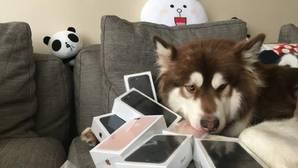 El hijo del hombre más rico de China compra a su perra 8 iPhone 7