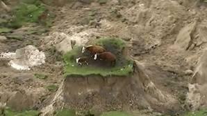 YouTube: Las vacas que consiguieron salvarse milagrosamente tras el terremoto de Nueva Zelanda
