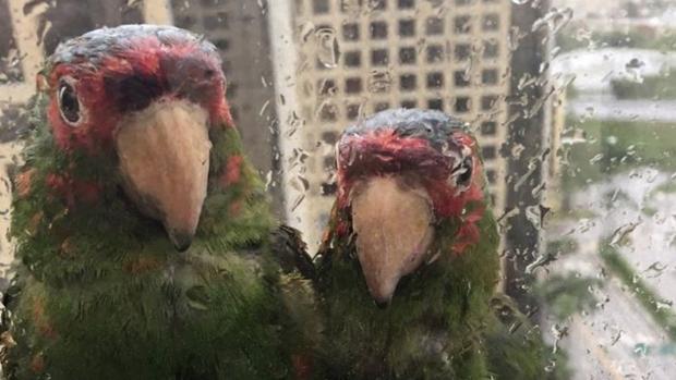Los loros mirando por la ventana