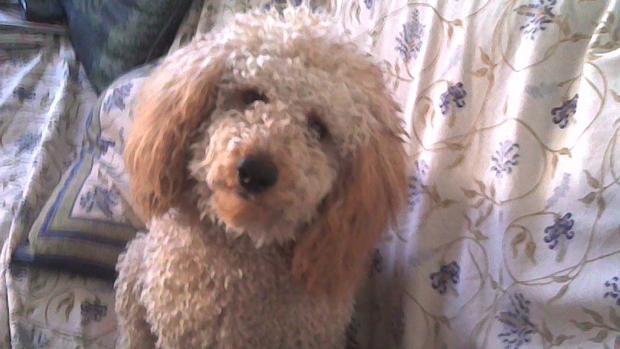 Un perro de la raza caniche