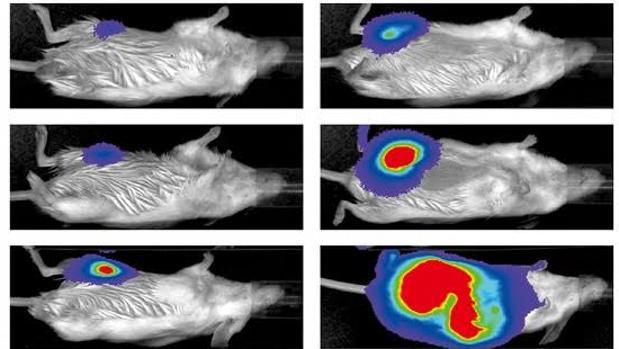 Imagen por bioluminiscencia del crecimiento tumoral a dosis altas (derecha) y dosis bajas (izquierda) de quimioterapia