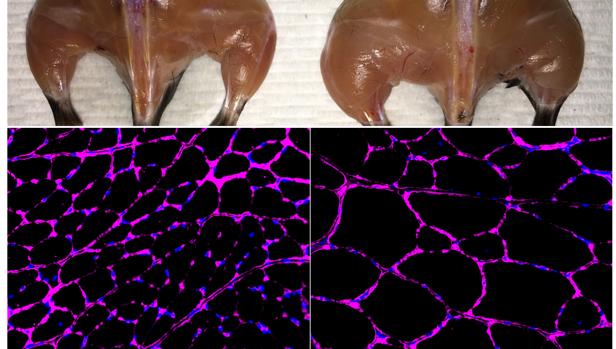 El sistema avanzado de activación del gen epigenético basado en Cas9 in vivo Belmonte mejora la masa muscular esquelética (arriba) y el crecimiento del tamaño de la fibra (parte inferior) en un ratón tratado (derecha) en comparación con un control independiente (izquierda). Las imágenes de microscopía fluorescente en la parte inferior muestran la tinción púrpura de la glicoproteína laminina en las fibras musculares tibiales anteriores.