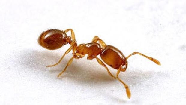 Hormiga ladrona ('Solenopsis molesta')
