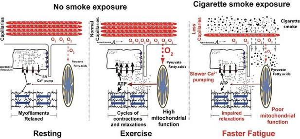 La exposición al humo del tabaco daña la funcionalidad de los músculos (izquierda)