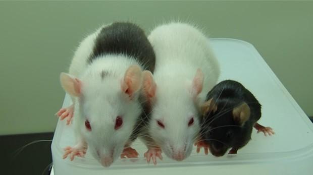 Ratas sometidas a bioelectrónica