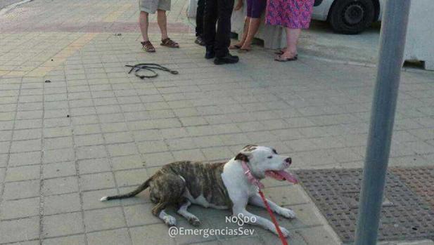 El perro de la raza pitbull