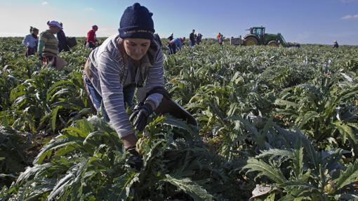Las cooperativas de Marinaleda cultivan habas, alcachofas y algodón, entre otras cosas