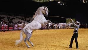El repunte de la venta de caballos de pura raza anima Sicab