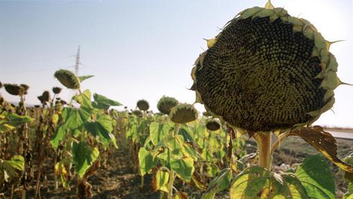Girasoles en una finca, como los que se pueden cultivar en Guadalora