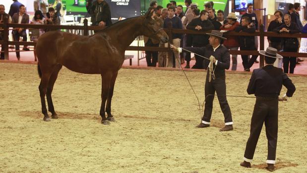 Un caballo se somete al examen de los jueces ayer en Sicab