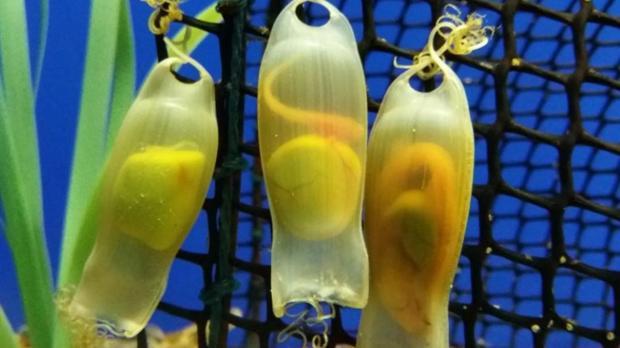 Huevos de pintarrojas en la «guardería» del Acuario de Sevilla
